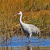 Adult Sandhill Crane at Crex Meadows-10/7/13