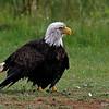 Bald Eagle near Crex Meadows in Burnett Co, WI