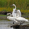 Trumpeter Swans at Crex Meadows