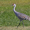 Adult Crane walking in field near Crex.  10/28/13