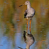Another Gr. Yellowlegs with nice reflection in the water