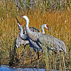 Group of Sandhill Cranes in unusual pose