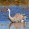 Same Crane as in previous photo now swimming!