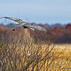 Landing in the marsh.  10/28/13