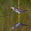 Greater Yellowlegs with nice water reflections looking up