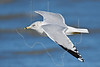 Ring-billed Gull, Flight,<br /> East Beach, Galveston, Texas