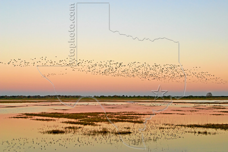 Geese and Ducks, Sunrise Flight, <br /> Brazoria National Wildlife Refuge, Texas