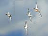 American Widgeon, Gadwalls, Northern Shoveler Ducks, Flight<br /> Brazoria National Wildlife Refuge, Texas