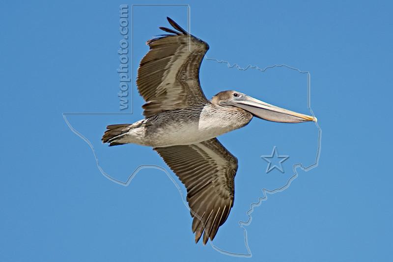 Brown Pelican, Juvenile, Flight,<br /> East Beach, Galveston, Texas