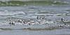Sanderlings, Flight<br /> East Beach, Galveston, Texas