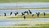 Black-neck Stilts, Flight,<br /> Brazoria National Wildlife Refuge