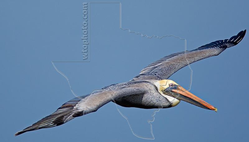 Brown Pelican, Flight,<br /> East Beach, Galveston, Texas