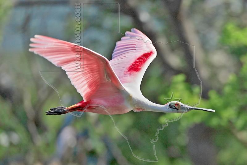 Roseate Spoonbill, Flight,<br /> Smith Woods, High Island, Texas