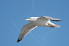 Herring Gull, Flight,<br /> East Beach, Galveston, Texas
