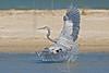Great Blue Heron, Hunting, Flight,<br /> East Beach, Galveston, Texas
