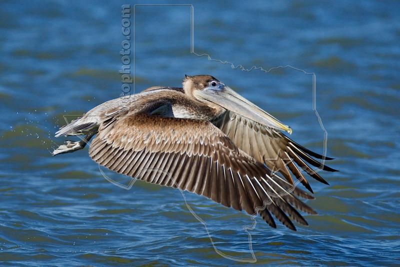 Brown Pelican, Juvenile, Flight,<br /> Freeport Jetty, Freeport, Texas