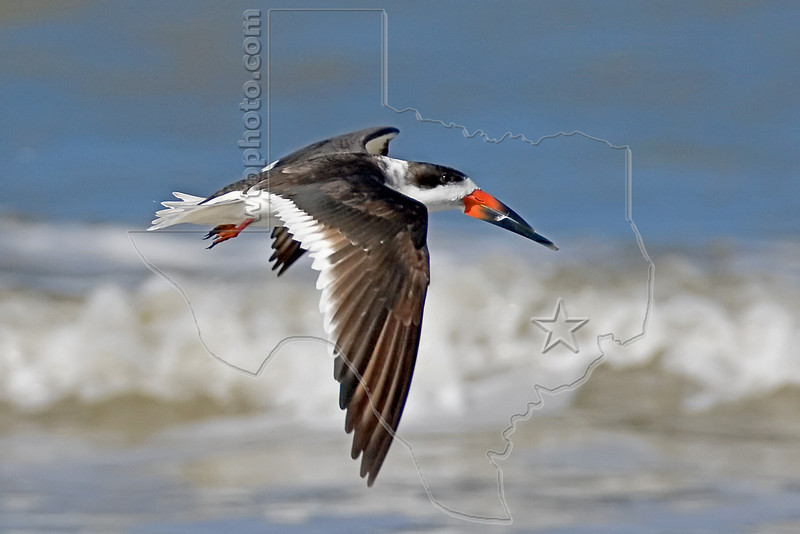 Black Skimmer, Flight,<br /> East Beach, Galveston, Texas