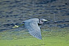 Little Blue Heron, Flight,<br /> Brazos Bend State Park, Texas