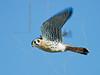 American Kestrel,<br /> Brazoria National Wildlife Refuge
