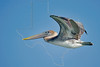 Brown Pelican, Juvenile, Flight,<br /> Freeport Jetties, Freeport, Texas