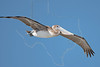 Brown Pelican, Juvenile, Flight,<br /> East Beach, Galveston, Texas