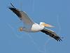 White Pelican, Flight,<br /> East Beach, Galveston, Texas