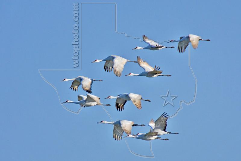 Sandhill Cranes in Flight,<br /> Brazoria National Wildlife Refuge, Texas