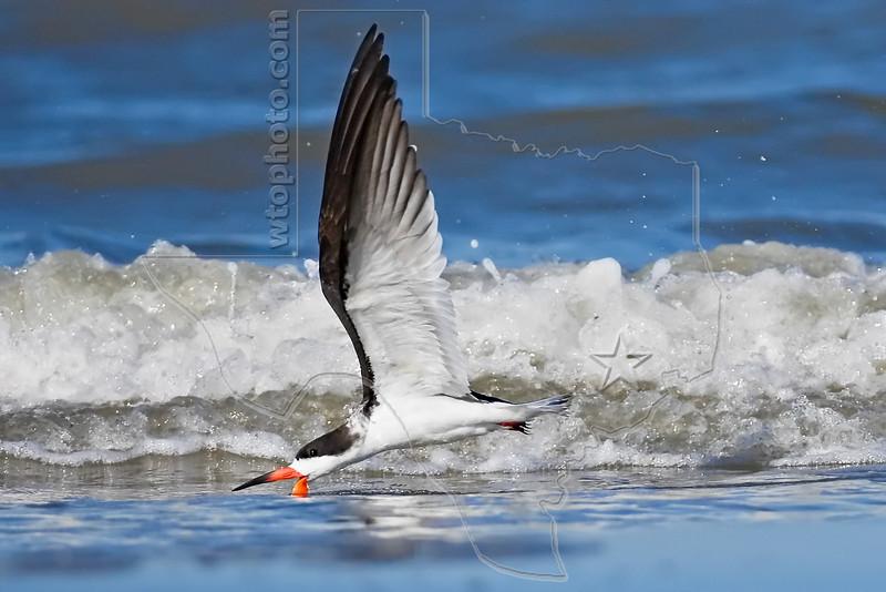 Black Skimmer, Skimming, Flight,<br /> East Beach, Galveston, Texas