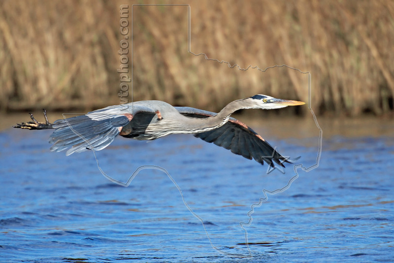 Great Blue Heron, Flight<br /> East Beach, Galveston, Texas