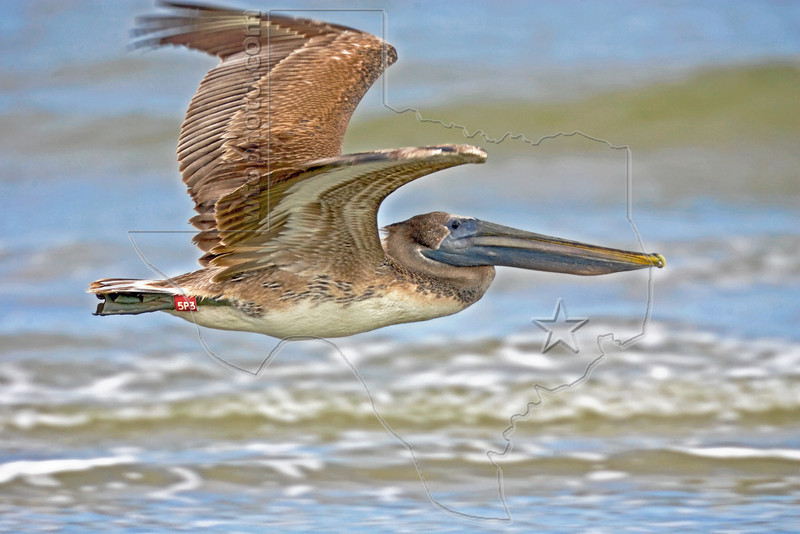 "Juvenile Brown Pelican ""5P3"", Flight<br /> East Beach, Galveston, Texas"