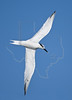 Sandwich Tern, Flight,<br /> Freeport Jetty, Freeport, Texas