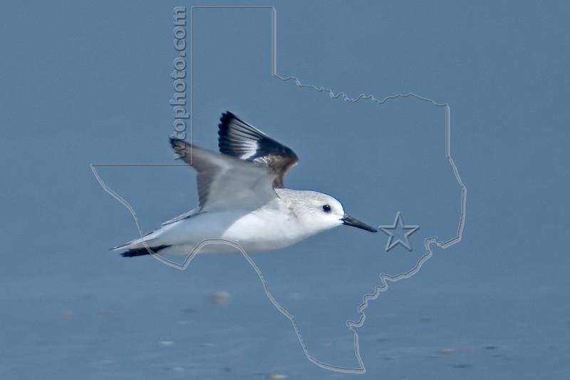 Sanderling, Flight<br /> East Beach, Galveston, Texas