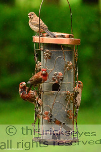 The house finch in the middle seems to be trying to intimidate me a bit.