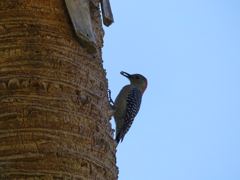 Red-Bellied Woodpecker in Wallace Brooks Park