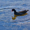 Moorhen in Cooter Pond