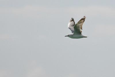 Birds of Prey, Gulls & Surfing on Australia's Gold Coast. Pics by Des Thureson.