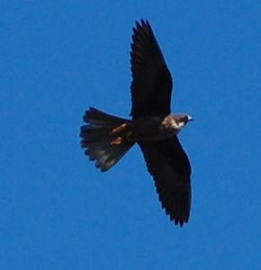 Eleanora's Falcon