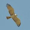 short-toed eagle - underside - lanjaron - 05 may 09_4112907216_o