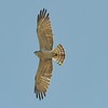 short-toed eagle - underside1 - lanjaron - 05 may 09_4112907514_o