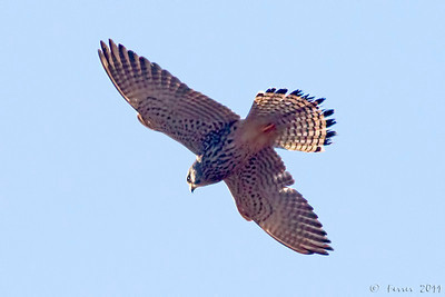 Peneireiro (Falco tinnunculus) Kestrel