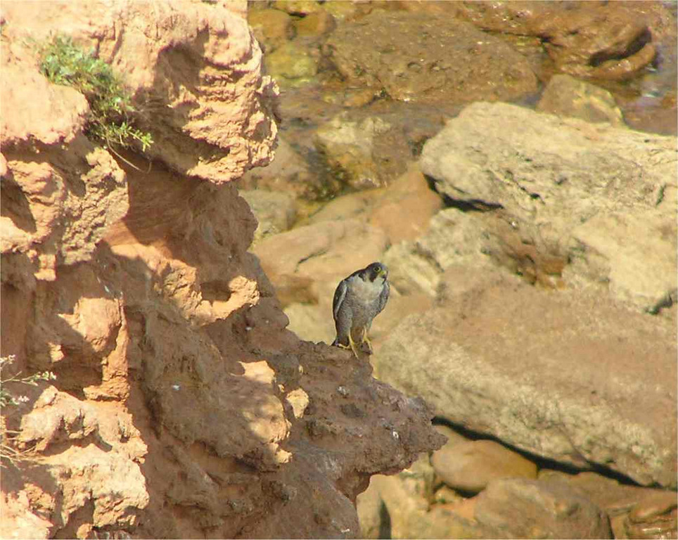 Peregrine Falcon Otterton Sept 2006