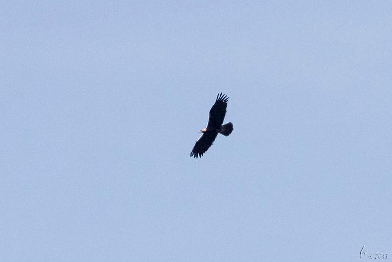 Águia-imperial-ibérica (fêmea adulta), Aquila adalberti Spanish Imperial Eagle (adult female)