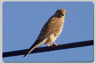 Peneireiro (fêmea) - Falco tinnunculus Kestrel (female)