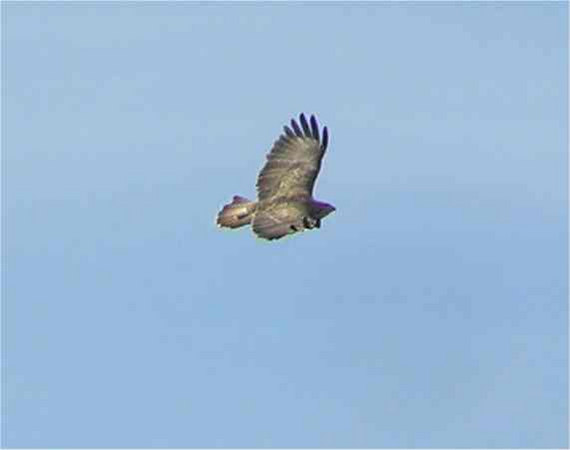 Buzzard Ashridge Sept 2006