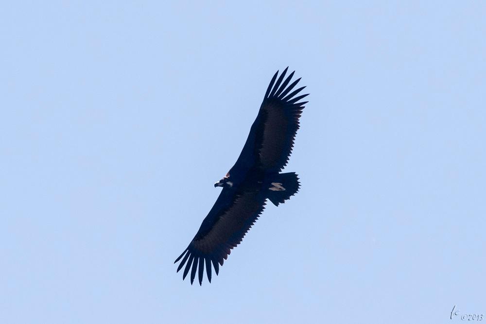 Abutre-preto, Ægypius monachus - Alentejo, Castro Verde/Mértola Black vulture