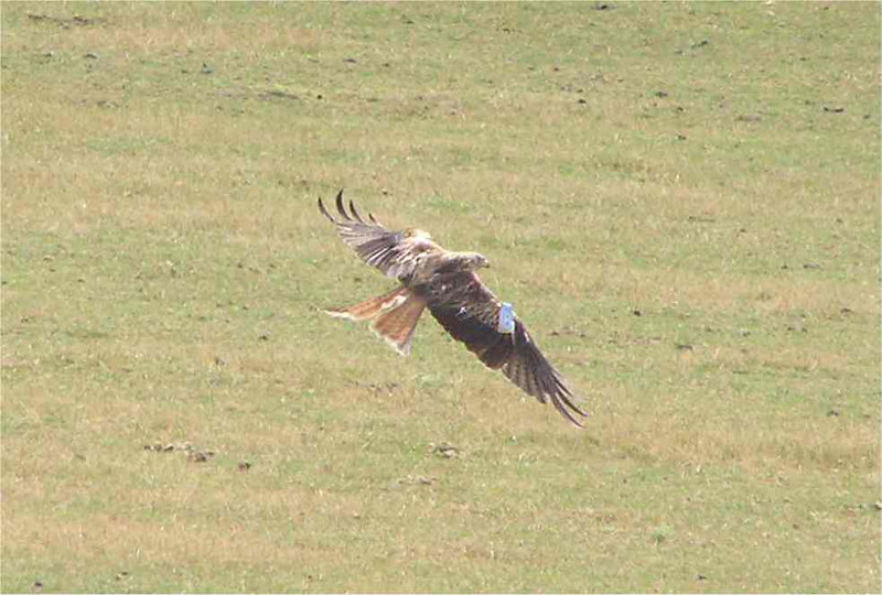 Red Kite August 2006