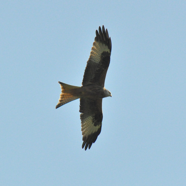 Red Kite Wallingford March 2011