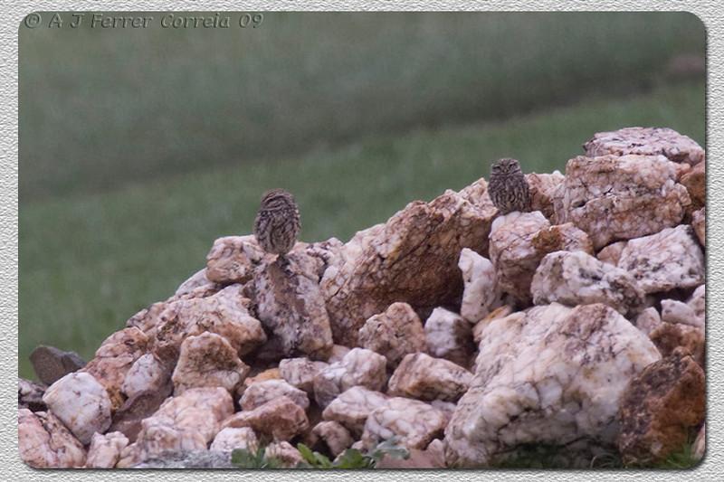 Mocho-galego (Athena noctua) - casal no início da época de nidificação Little Owl - couple, at the begining of the nesting season