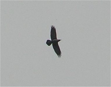 Buzzard Cotswolds Mar 2005