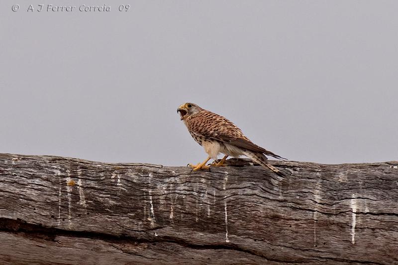 "Peneireiro, juvenil (Falco tinnunculus) - ""intruso"" numa colónia de francelhos Kestrel, juvenile - ""intruder"" in a lesser-kestrel colony"